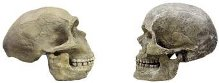 Neanderthal and Human Skull